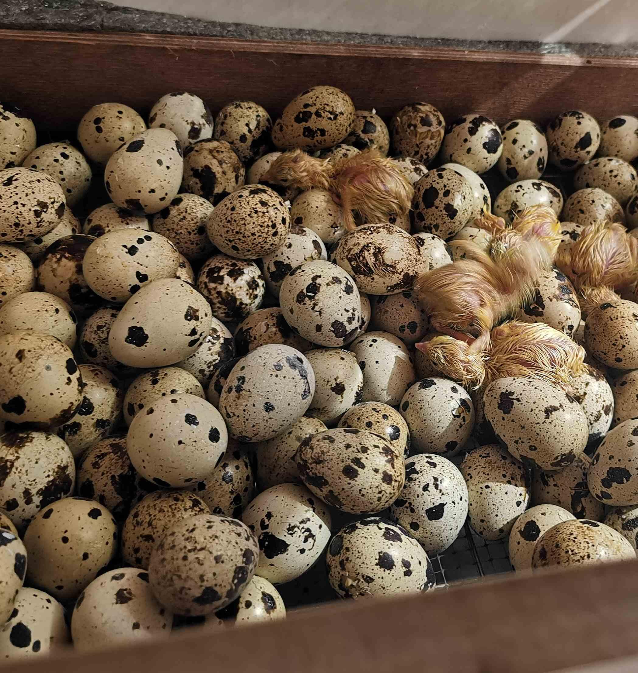 купить перепелиные яйца на инкубацию